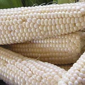 Seed Needs Package of 180 Seeds, Silver Queen Sweet Corn (Zea mays) Non-GMO Seeds