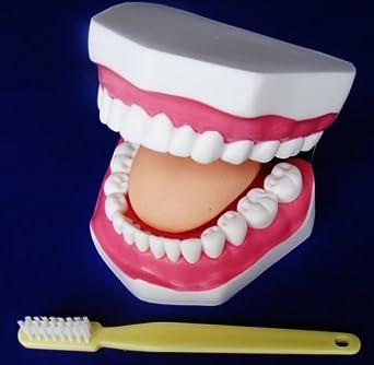 Modelo Anatomía profesional médico boca cavidad Health Care Cepillo de dientes it-068 Angelus