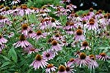 Purple Coneflower Echinacea Nice Garden Flower Herb by Seed Kingdom Bulk 1 Lb Seeds