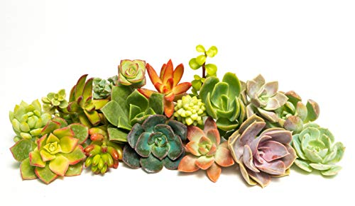 Succulent Cutting Assorted Pack: Brighten Up Your Garden with A Variety of Colorful Succulent Plants, No Two Cuttings are Alike by Jiimz (100)