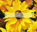 BLACK EYED SUSAN Rudbeckia Hirta --- 1,000 Flower Seeds