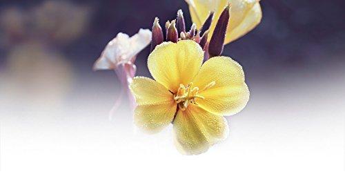 Aceite Corporal Revitalizante de Onagra, pieles maduras, aroma magnolia - Weleda (100 ml) - Se envía con: muestra gratis y una tarjeta superbonita que ...