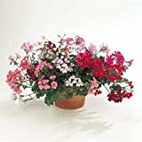 Geranium - Ivy Summer Showers Mix 100 seeds