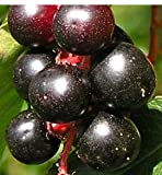 Sweet Cherry, 1-2' Tall Tree, Potted Plant, Bears Tasty Sweet Bearing Fruit