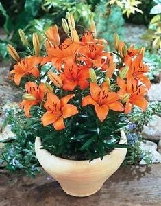 - GARTHWAITE Nurseries : - 3 Orange Pixie Dwarf Lily Bulbs for Patio & Pots Highly Fragrant Garden Perennial