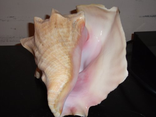 Bahama Conch Seashell