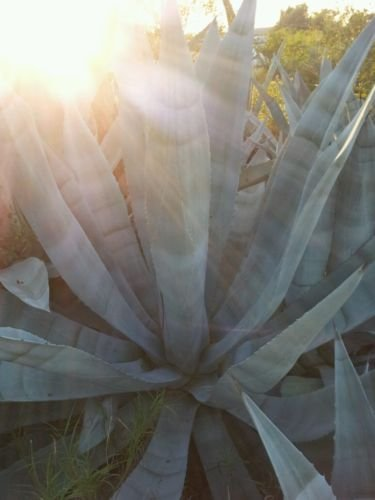 Blue Agave Americana Cactus Plant 3-5 Inches (Maguey)