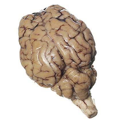 Amazon Preserved Sheep Brain With Hypophysis Plain Pack Of 10