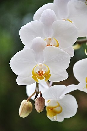 Startonight Wall Art Canvas White Orchids, Flower USA Design for Home Decor, Dual View Surprise Artwork Modern Framed Ready to Hang Wall Art 23.62 X 35.43 Inch 100% Original Art Painting! by Startonight