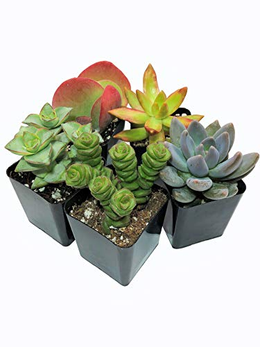 Real Live Succulent Plants (5 Pack), Fully Rooted in Planter Pots with Soil - Unique Indoor Cactus Decor by The Succulent Cult by The Succulent Cult (Image #2)