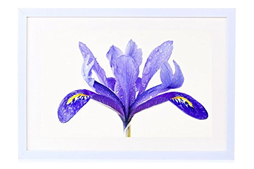 Water Drops On A Purple Iris Flower - Art Print White Wood Framed Wall Art Picture 16x12 inches Framed (Framed Iris Purple)