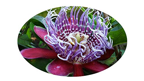 Passion Flower Maypop - QUADRANGULARIS Tropical Passion Flower Vine Live Plant Passiflora Giant Grandilla Unusual Purple Red Flower Starter Size 4 Inch Pot