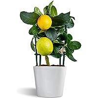 Meyer Lemon - limonero enano - cítrico de interior - planta viva - maceta 12cm