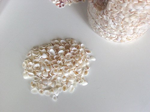 Price comparison product image 100% NATURAL Beach white shells 1 lb sand Real beach sea shellings shell ocean