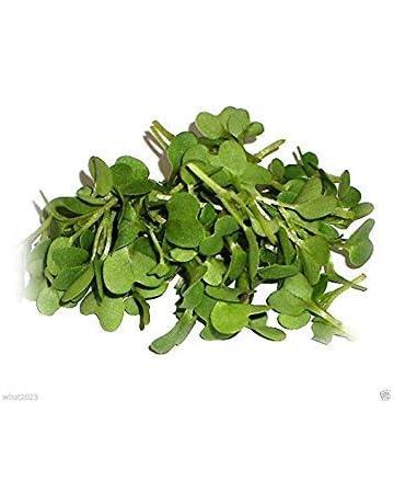 CUSHY 1 paquete de Oz: Brown picante Semillas (Brassica juncea) Crecer Durante todo