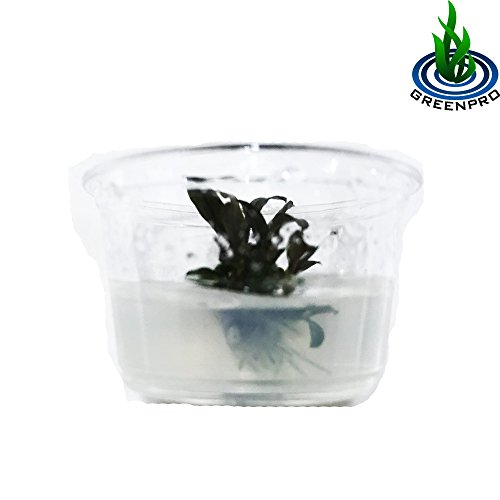 Image of GreenPro (Red Bucephalandra Nano Cup) Live Aquarium Plants in Tissue Culture Cup Anubias, Cryptocoryne, Bucephalandra, Piptospatha Ridleyi and More 100% Pest Snail and Algae Free