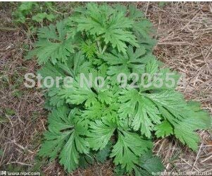 Hot Selling 1 Pack Fragrant Wormwood,Chinese Mugwort D042 Indoor Bonsai Flower Plant Seeds DIY Home Garden