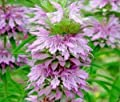*Seeds and Things Lemon Mint (Monarda citriodora) 500+ Seeds The plants are attractive to butterflies and hummingbirds.