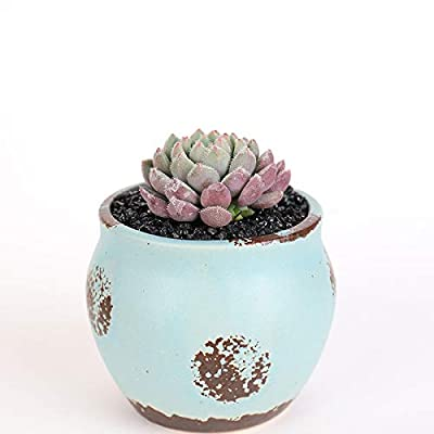 Succulent Live Plant - Echeveria setosa v. deminuta : Garden & Outdoor