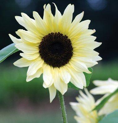 David's Garden Seeds Sunflower Buttercream SV1858 (Yellow) 25 Hybrid Seeds (Yellow 25 Seeds Sunflower)