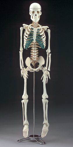 Mr. Thrifty Skeleton, an anatomically accurate skeleton done in plastic