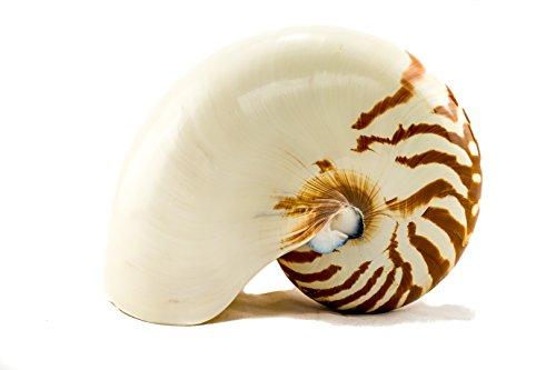 Nautilus Shell   Natural Chambered Nautilus Seashell 4