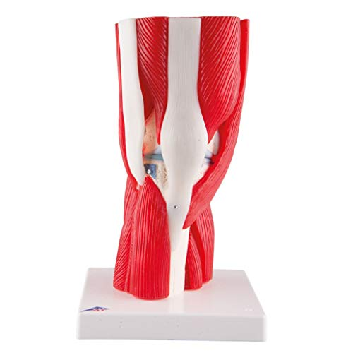 - A882 - Description : Muscled Knee Joint - Muscled Knee Joint - Each
