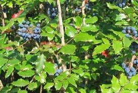 The Dirty Gardener Mahonia Aquifolium Oregon Holly Grape Shrubs, 3 Seeds