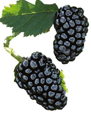 Natchez Thornless Blackberry - Healthy - 4