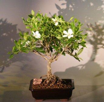 Amazon Com Bonsai Boy S Flowering Gardenia Bonsai Tree Large Jasminoides Miami Supreme Bonsai Plants Grocery Gourmet Food