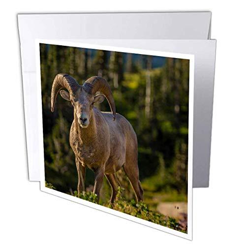 3dRose Danita Delimont - Sheep - Bighorn Sheep ram in Glacier National Park, Montana, USA - 1 Greeting Card with Envelope (gc_314920_5) ()