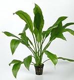 Schmalblättrige Amazonas-Schwertpflanze / Echinodorus amazonicus