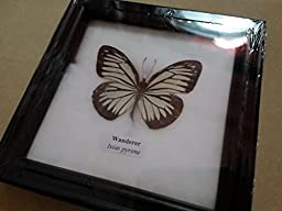 Real WANDERER Butterfly Framed Taxidermy Entomology Insect Display Gift