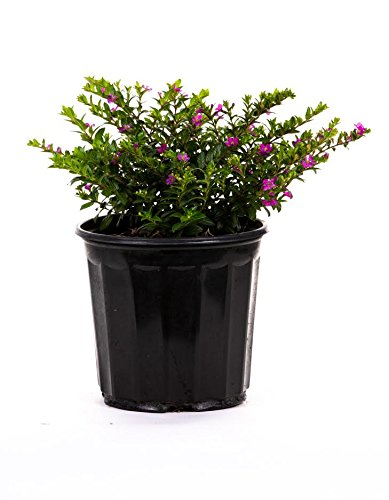 - AMERICAN PLANT EXCHANGE Mexican Heather 1 Gallon Live Plant, 6