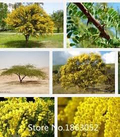 Promotion New Home Garden Plant 100 Seeds GOLDEN MIMOSA Acacia seeds Baileyana Yellow Wattle Tree Flower Seeds Nov