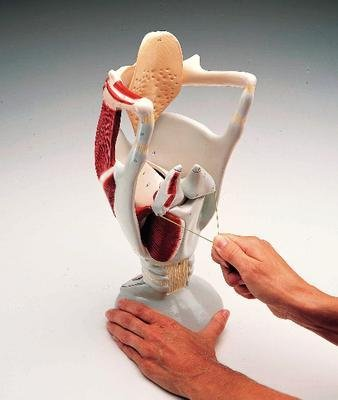 Giant Functional Larynx Anatomy Model