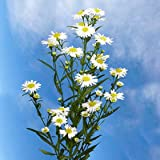 10 Bunches of Fresh Cut White Aster Flowers | Fresh Flowers Express Delivery | Perfect for Birthdays, Anniversary or any occasion.