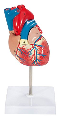 axis-scientific-2-part-deluxe-life-size-human-heart-anatomy-model-mounted-on-white-base-includes-col