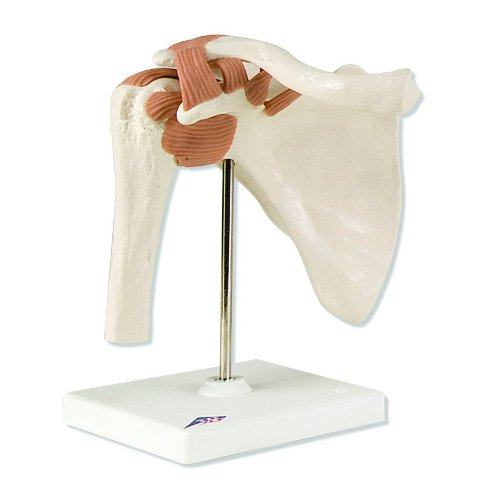 3B Scientific A80 Functional Shoulder Joint Model, 6.3'' x 4.7'' x 7.9'' by 3B Scientific (Image #1)