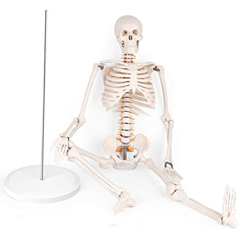 Mini Human Skeleton Anatomy Model - Science Classroom Skeleton Model Tool, Teaching and Learning Aids - 1/2 Life Size