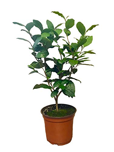 Camellia Sinensis - 6 Inch Container - Large & Beautiful Live Tea Plant - Brew Your Own Black, White, Green & Oolong Tea