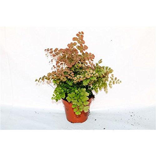 Adiantum tenerum 'Scutum Roseum' Fern House Plant in a 12cm Pot. Rare Perfect Plants