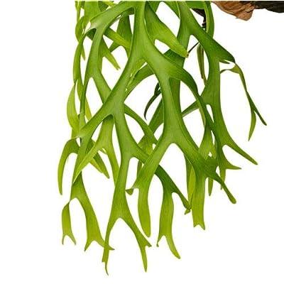 3-Inch Pot Indoor Platycerium Bifurcatum Live Plant Staghorn Fern Netherlands : Garden & Outdoor