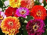 David's Garden Seeds Flower Zinnia California Giants DGS0987 (Multi Colors) 500 Heirloom Seeds