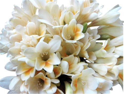 10 Heirloom, Antique Freesias Bulbs - Very Fragrant and Easy to Grow from Marde Ross & Company