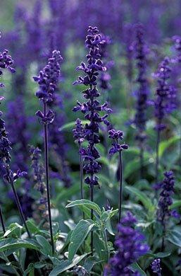(500 BLUE BEDDER SAGE Salvia Farinacea Flower Seeds)