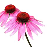 Echinacea - Purple Coneflower - 1000 Seeds