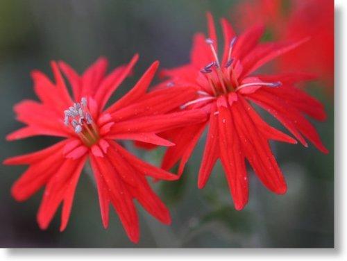 FES Quintessentials Flower Essences Services Indian Pink 30ml Dosage by NaturesWisdom.co.uk ()