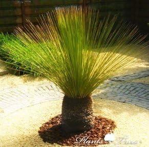 BUY 3 GET 2 FREE Dasylirion longissimum Mexican Grass Tree 5 Pcs Seeds
