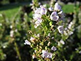 150 Creeping Winter Savory Satureja Montana Herb Flower Seeds #SFB